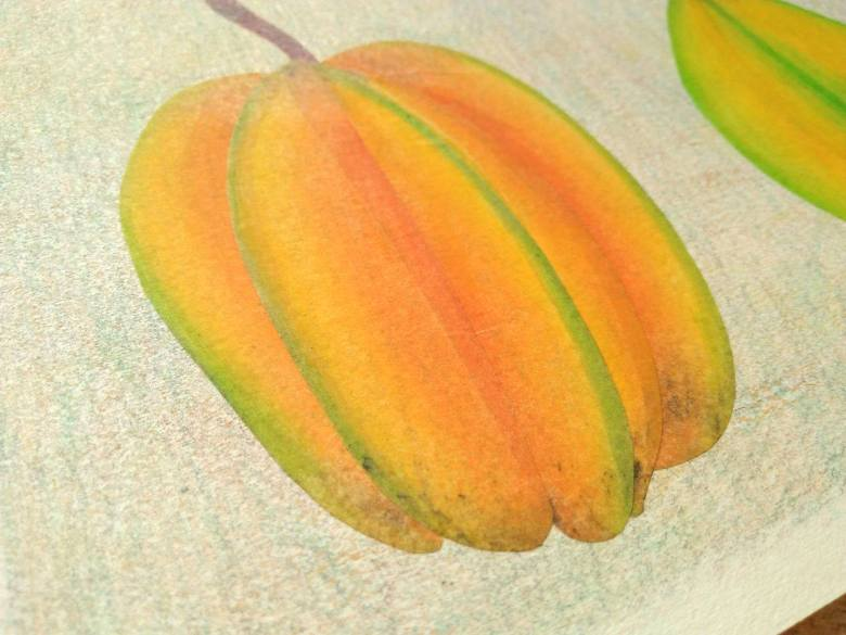 tropical fruits illustration_Yodchat Bupasiri_ยอดฉัตร บุพศิริ20